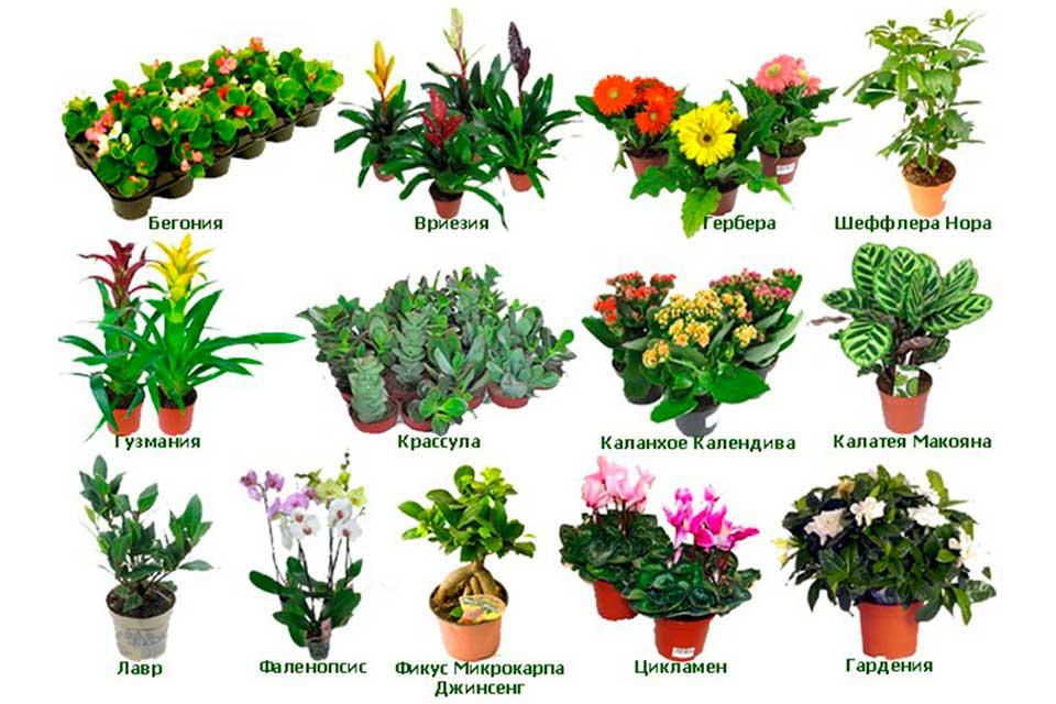 Перечень цветов комнатных 165