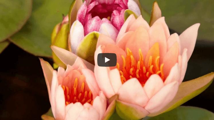 Красивое видео цветы