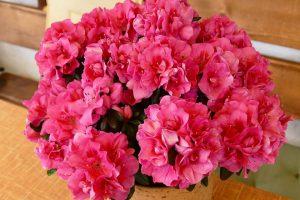 Азалия - цветок женской красоты