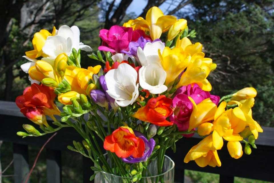 Фрезия в магазинах Квітковий Рай