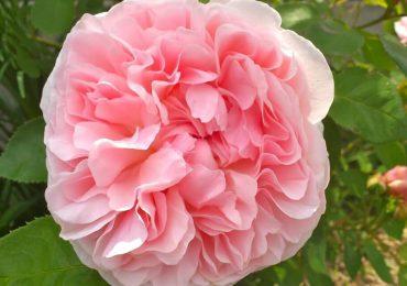 Пьянящий аромат роз Девида Остина