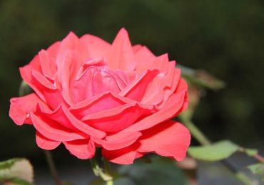 shikarnye-rozy