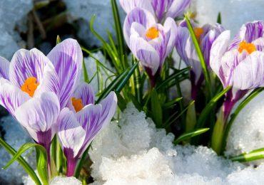крокусы, весенние цветы, купить крокусы