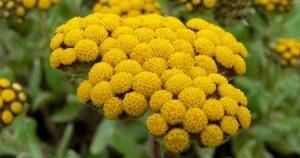 лечебные травы, традиции цветочные