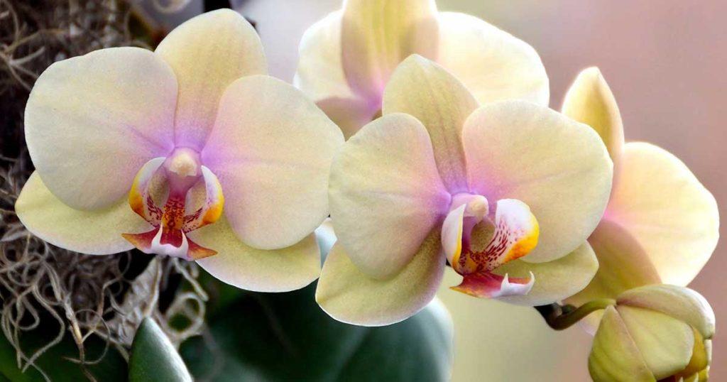 Как орхидея